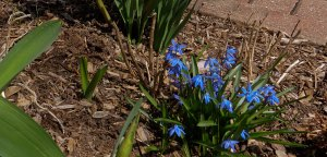 blue scilla in bloom on Easter Sunday