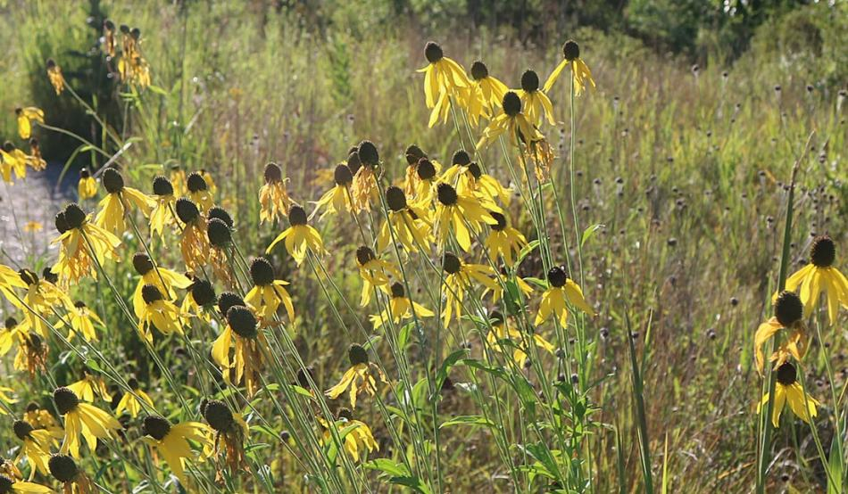 Yellow blooms on the gray-headed coneflower against one of the nature areas