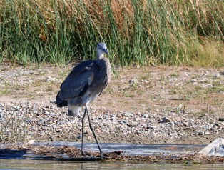 majestic large grayish-blue bird with daggerlike bill and thin long legs pauses at it searches for food along the shoreline.