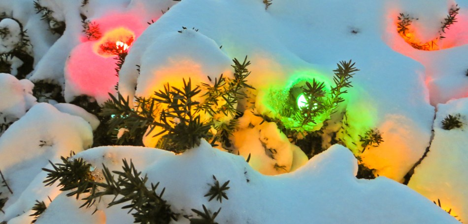 Snow-covered evergreen bush lit up with  holiday lights