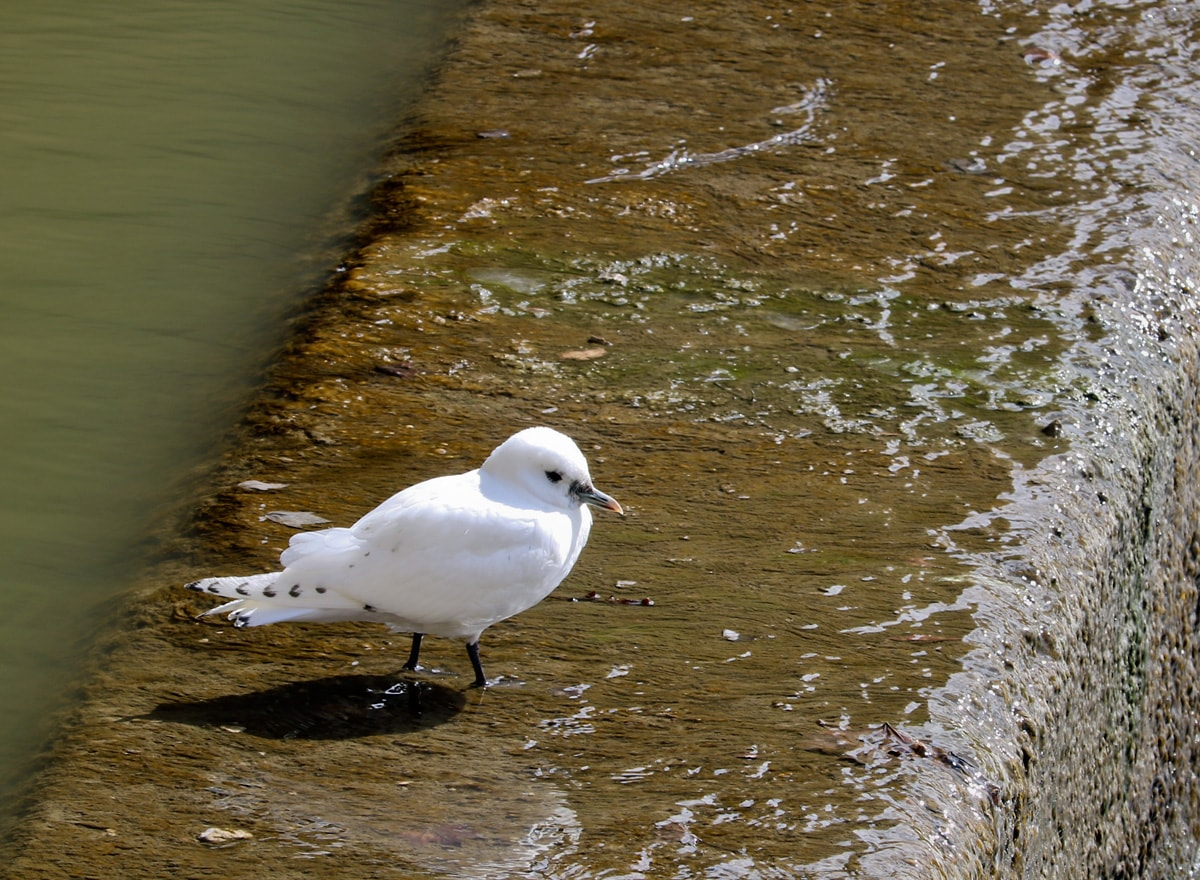 Ivory Gull standing on ledge of dam as water washes over ledge