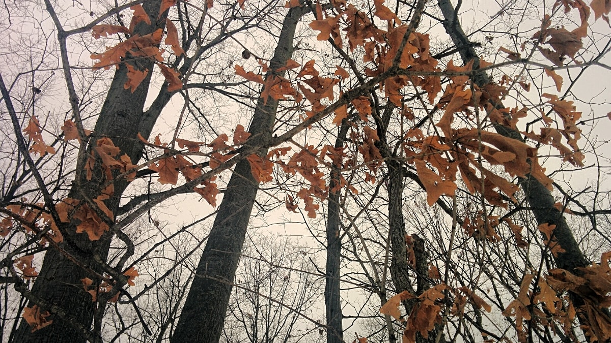 looking up into the oak trees with rust-colored leaves