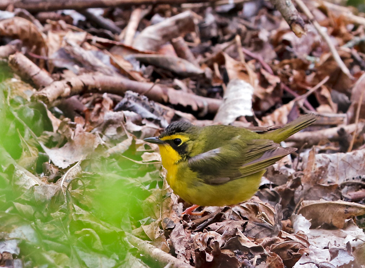 small olive-colored bird with yellow face and black v-shaped mask pauses on leaf-strewn ground.