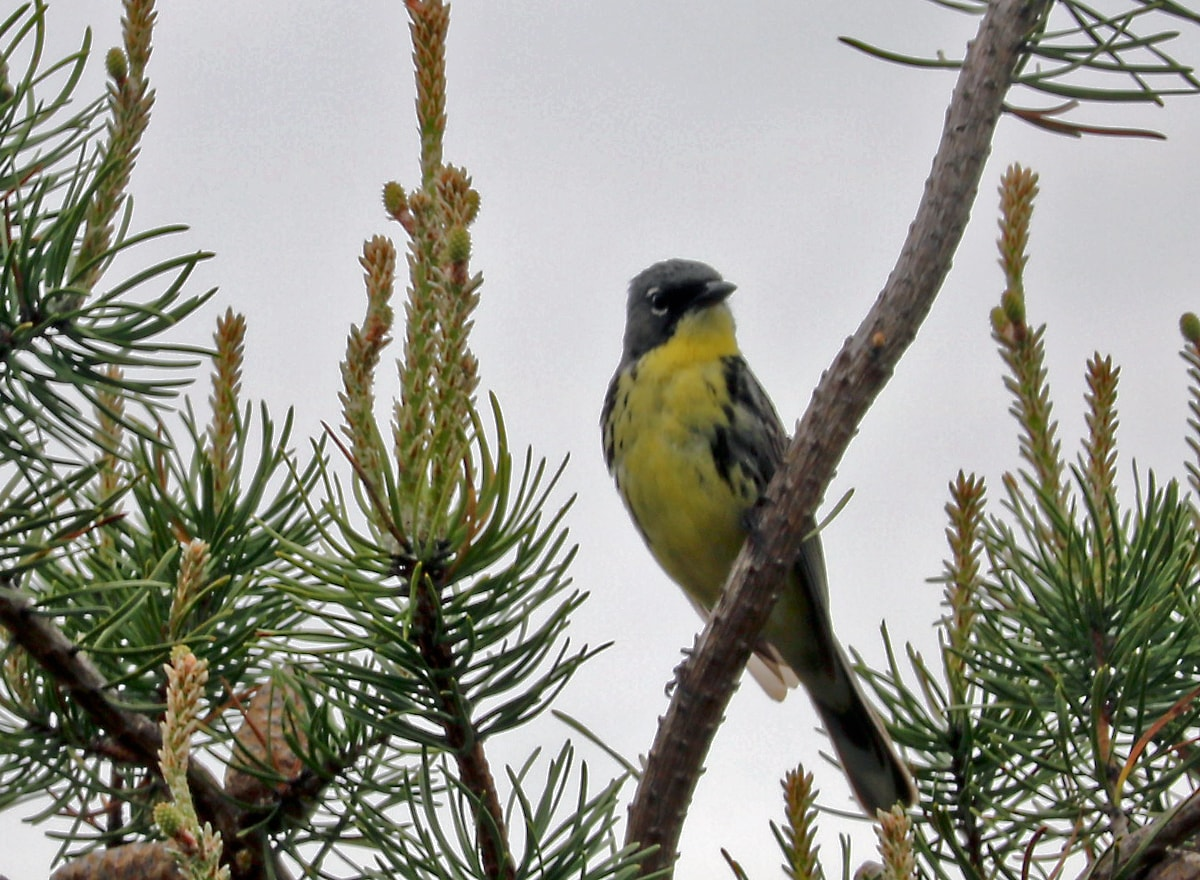 Kirtland's Warbler perched on branch of Jack Pine tree