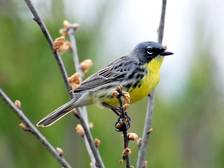 Gray and yellow bird, with white eye-ring, sitting on tree branch