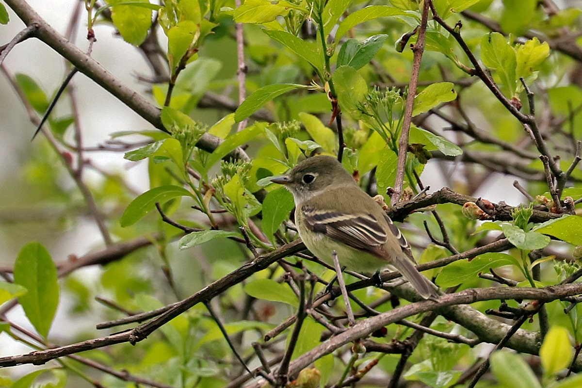 Small dusky olive-colored bird perched on a shrub branch.