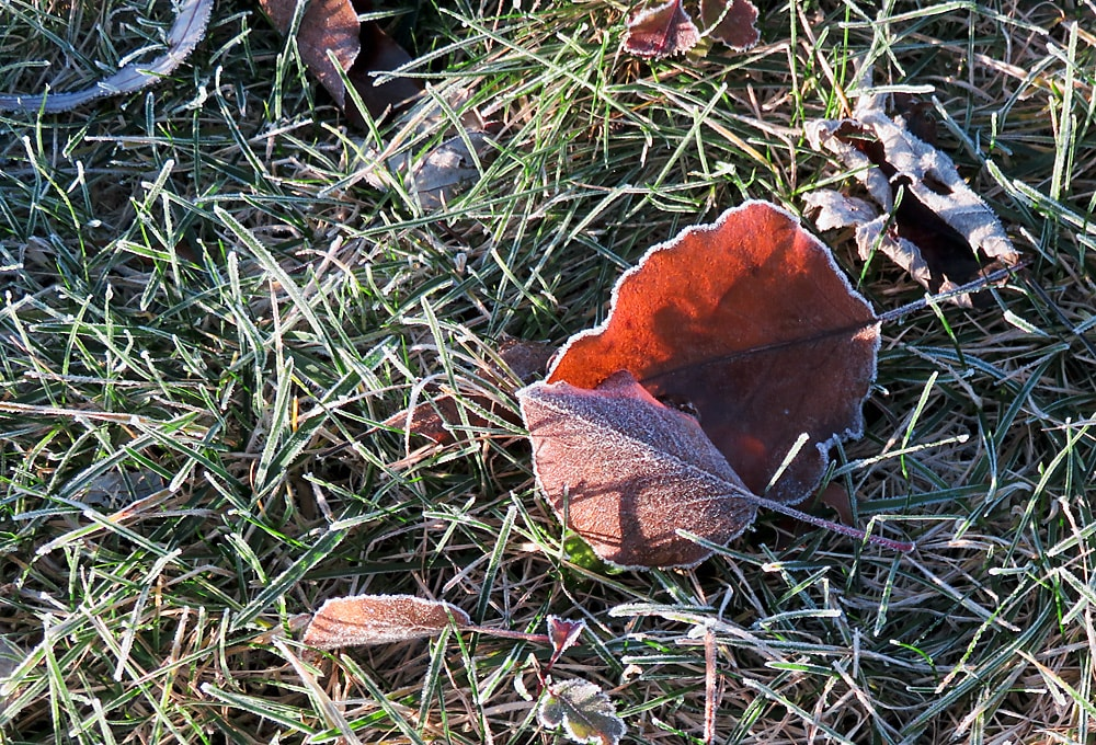 Autumn leaves tinged with frost on the frost-covered grass