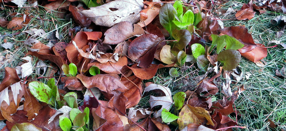 Leaf lettuce in a vegetable garden, mulched with grass clippings and leaves
