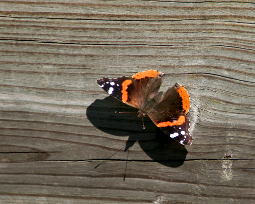 Butterfly on the deck going out to the marsh