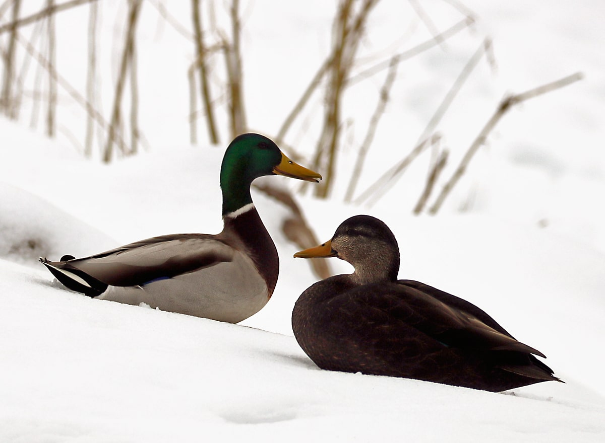 Mallard and American Black Duck face to face on a snowy bank next to the river.