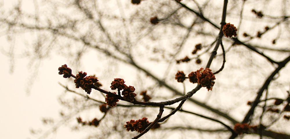 Maple tree buds just beginning to burst