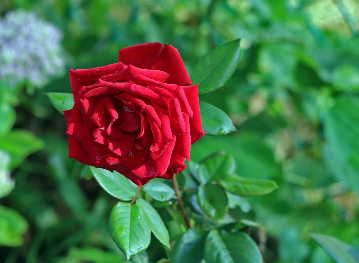 single deep red rose with raindrops on the petals against a sea of green leaves