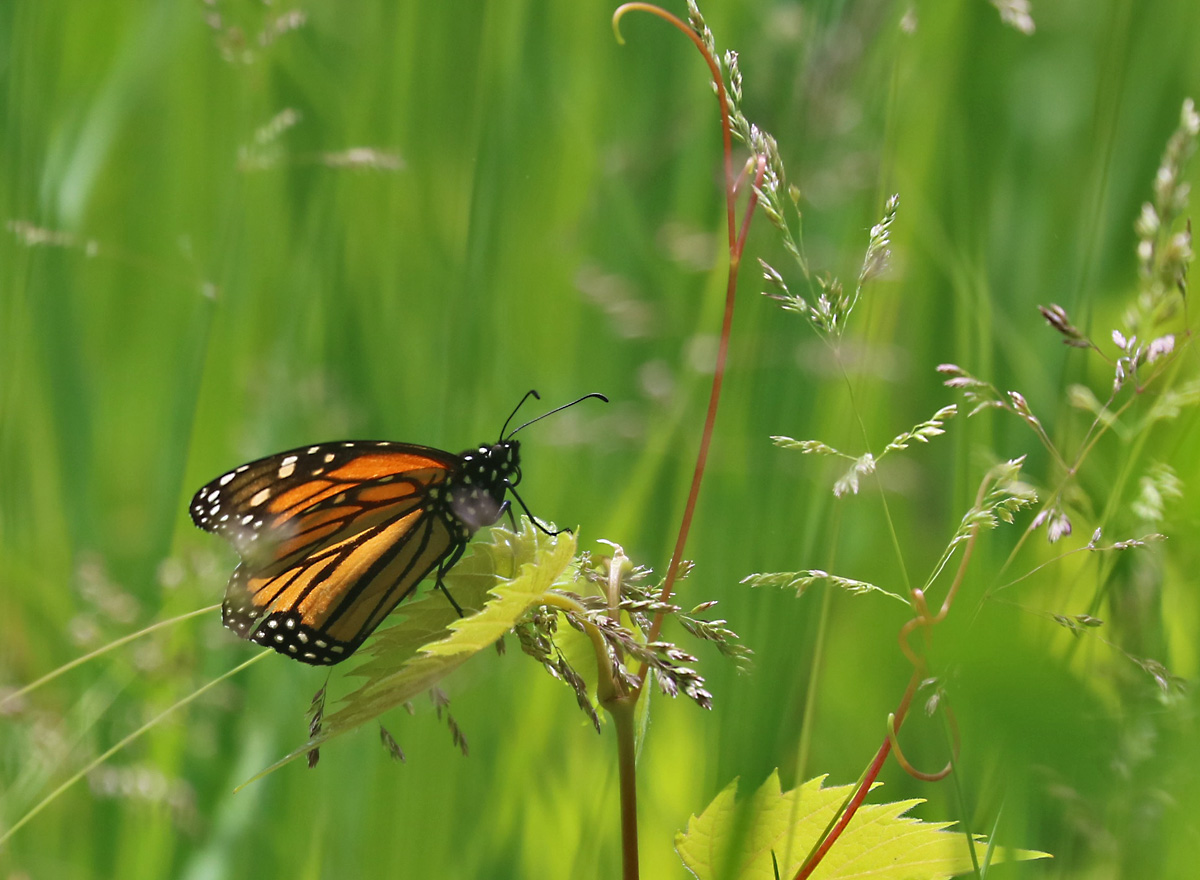 orange and black butterfly with white spots on the wing edges pauses on young sapling.