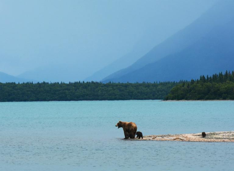 Mother Brown bear teaches her cubs to swim on the edge of Naknek Lake, in Alaska's Katmai National Park.
