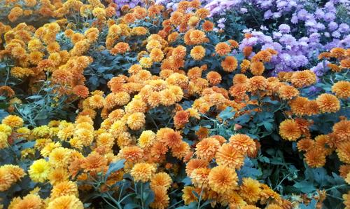 orange fall mums in bloom