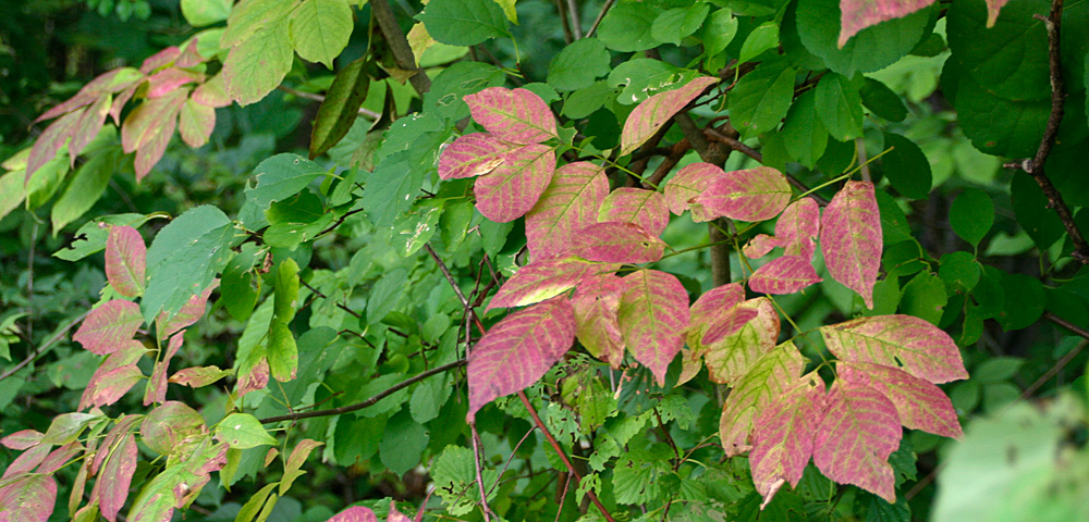 Understory shrubs at Oakwoods Metro Park slowly turning red
