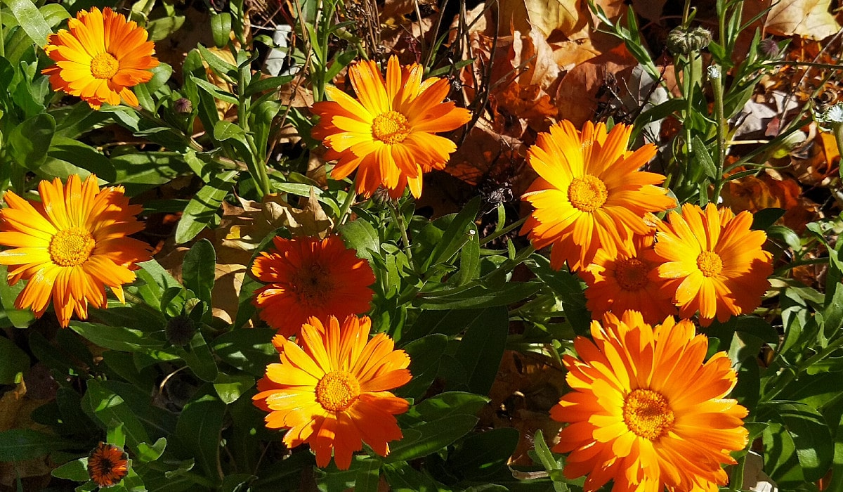 Brilliant golden orange blooms with layers of petals stand out in the afternoon sunshine.
