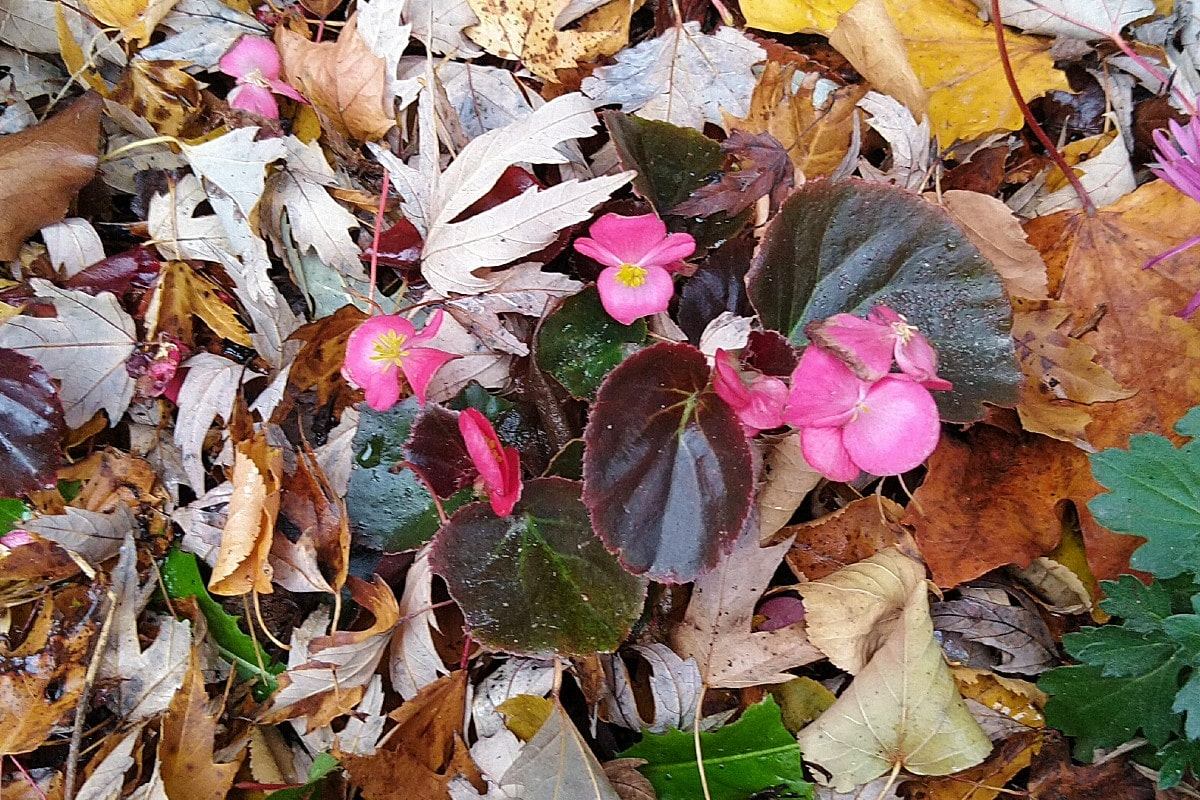 Nestled among the fallen maple and oak leaves, pink begonia flowers stand out against its deep green waxy leaves.