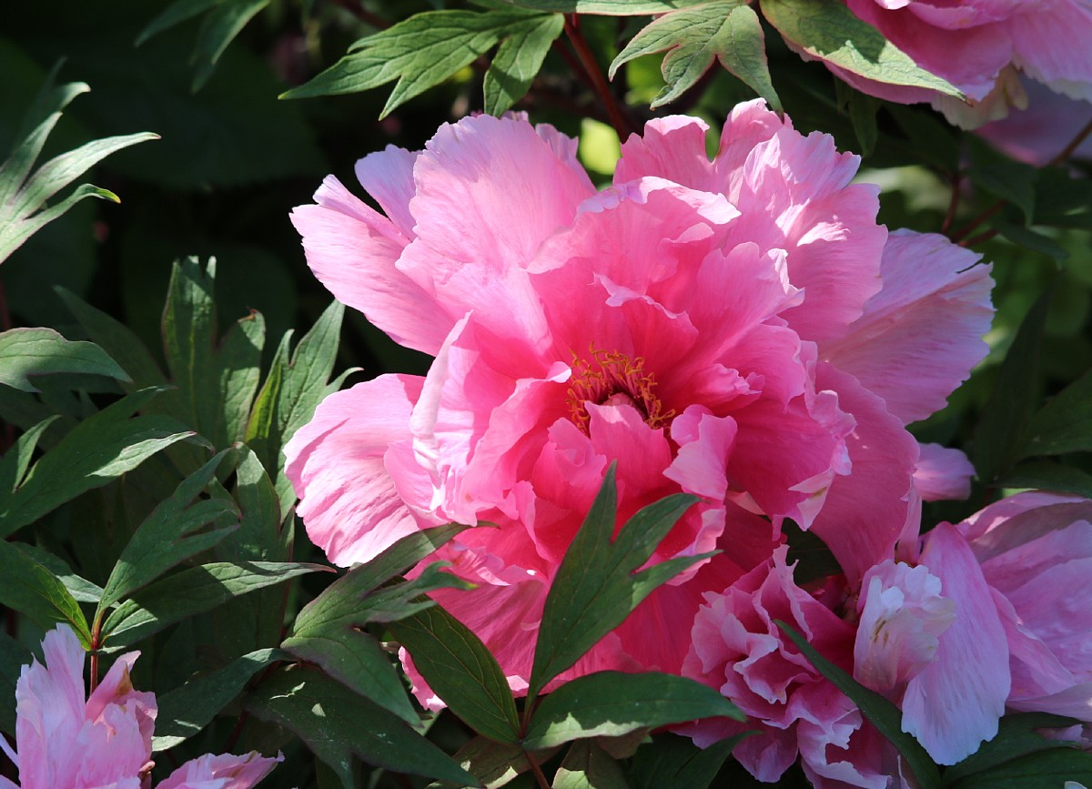 light filters through the petals of a beautiful pink tree peony flower.