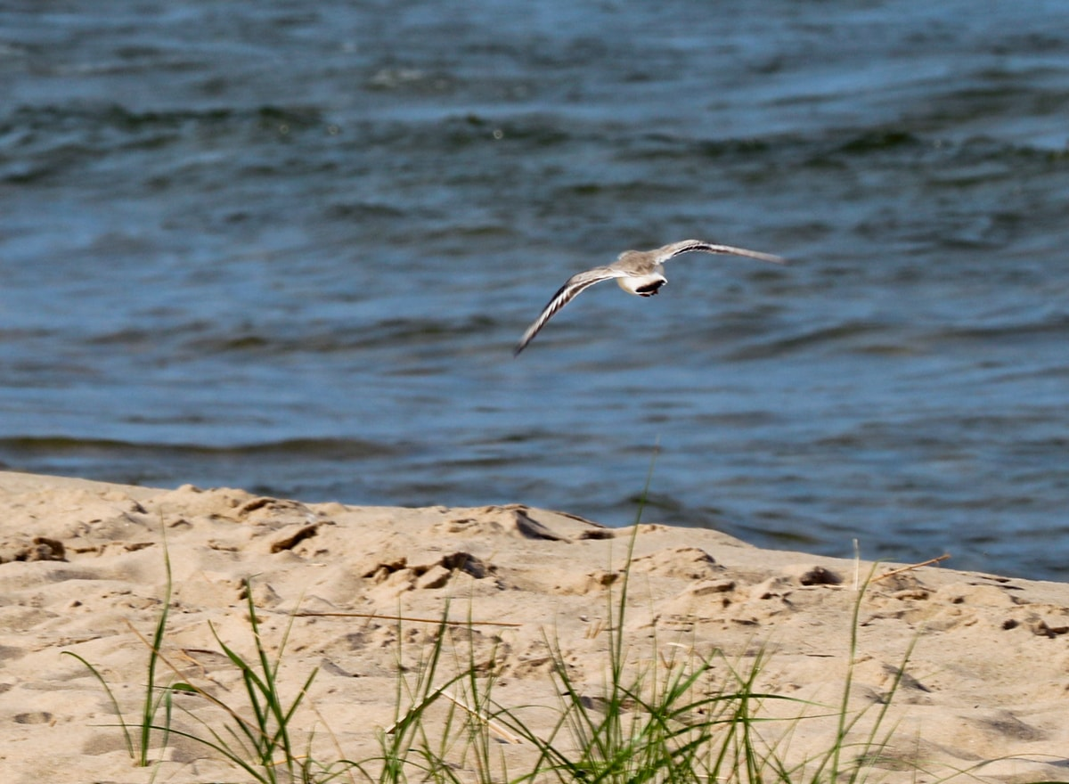 Piping Plover flies over shorelines of Lake Michigan