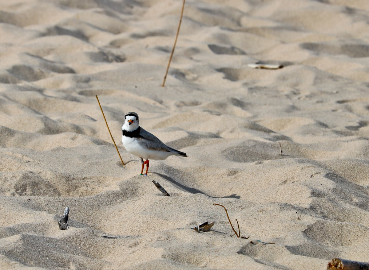 Piping Plover pauses on the sand dune