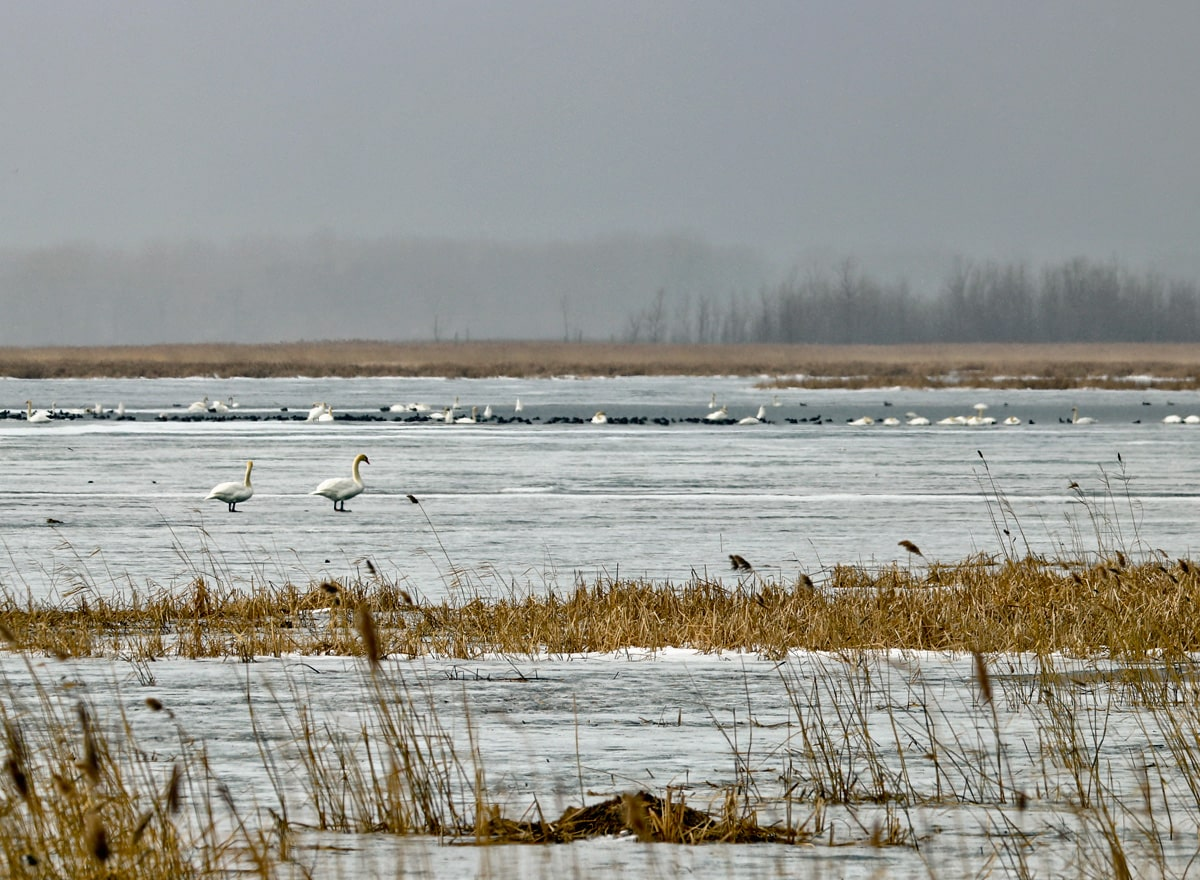 Mute Swans, Redheads, and American Wigeons gather on the ice and open water of the marsh.