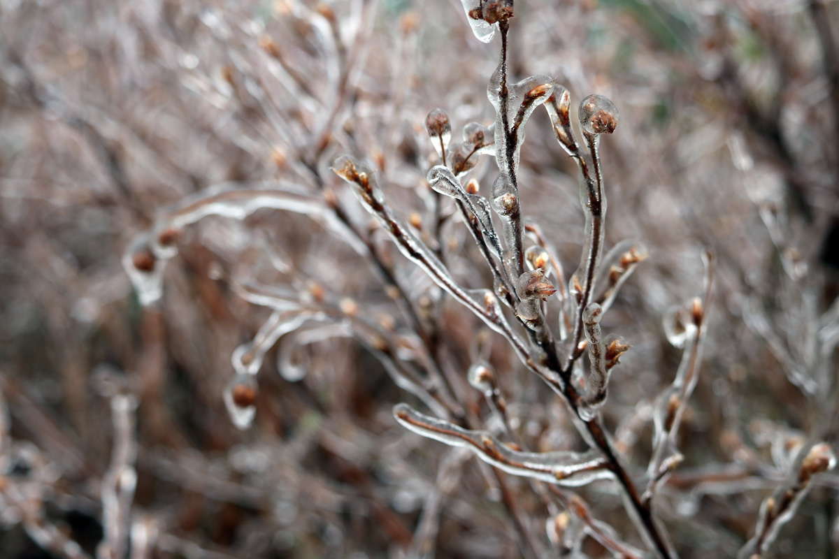 ice encases the buds and stems of the Potentilla bush.
