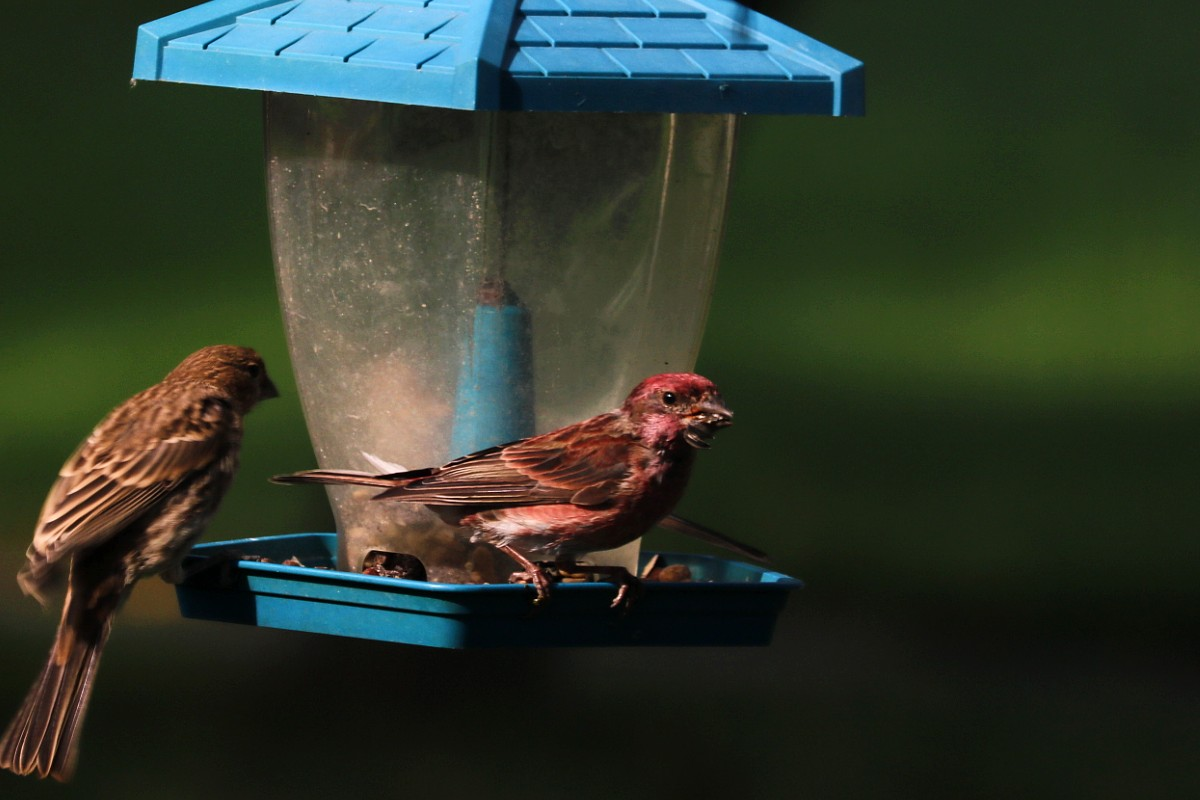 Raspberry-colored medium-sized bird perches on edge of green bird feeder.
