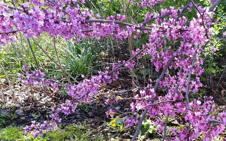 Clusters of purple Eastern Redbud flowers cover the branches of the short tree.