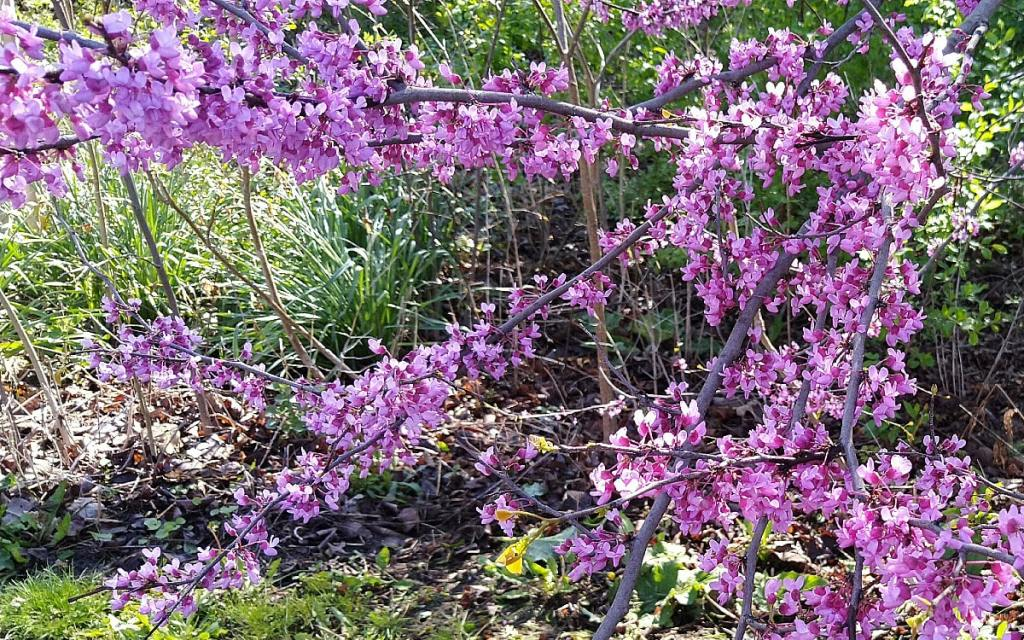 Clusters of beautiful purple Eastern Redbud flowers cover the branches of the short tree.