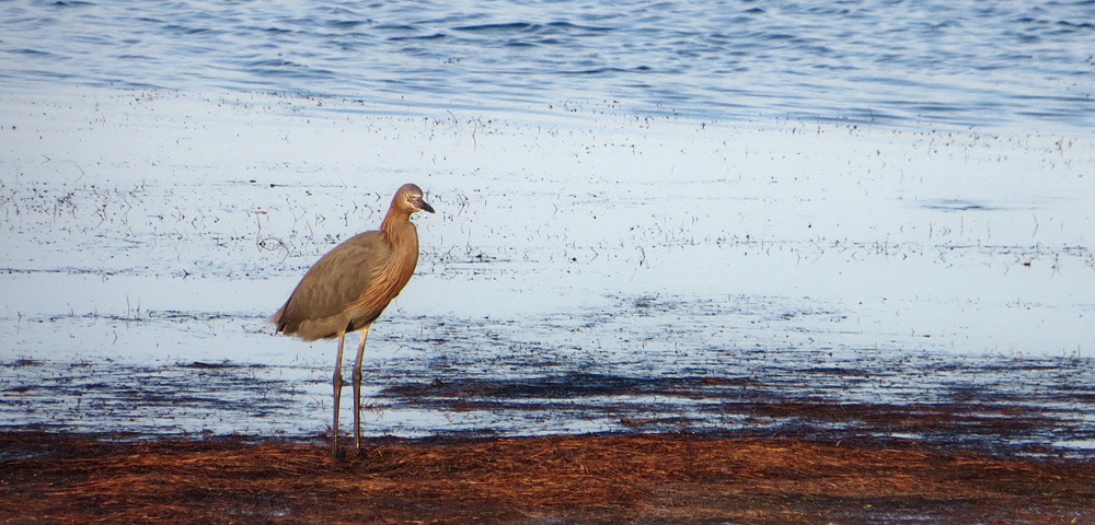 Reddish Egret walking on seashore