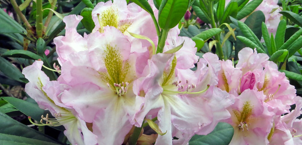 Pink and white flowering rhododendron