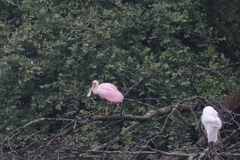 Large pink bird with long spoon-shaped bill fluffes out its feathers on the three snag, while a nearby white Great Egret preens.