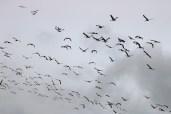 silhouette of Sandhill Cranes in flight
