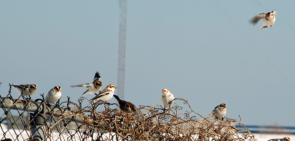 Snow Buntings perched on a fence