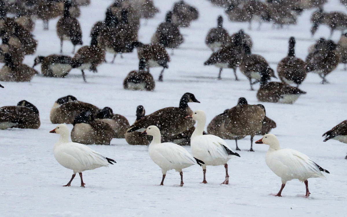 four white geese with pink bills, pink legs, and black-tipped wings walk slowly across the frozen lake in front of hundreds of Canada Geese.