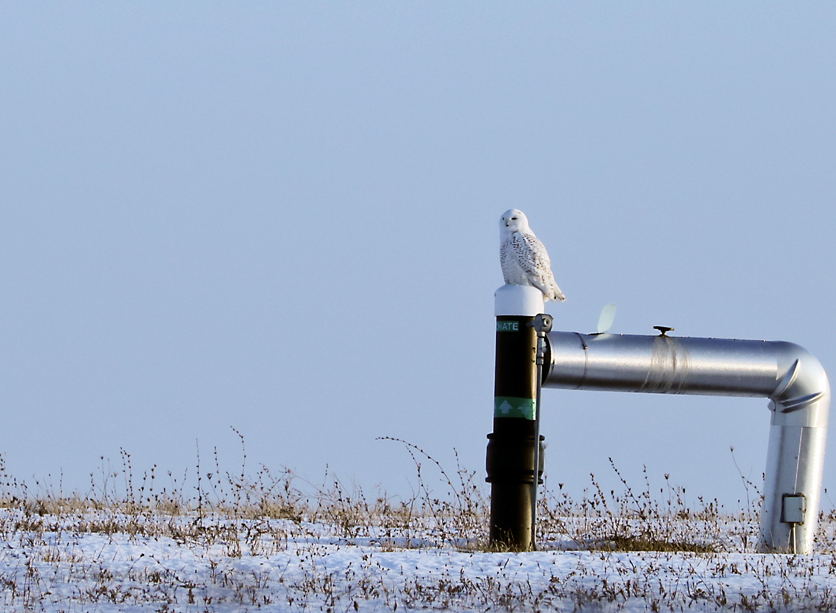 Snowy Owl perched on utility post in snow-covered field