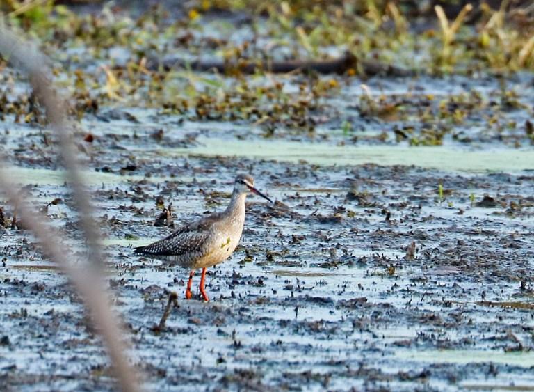 large shorebird with orange bill and reddish-orange legs wading through mudflat
