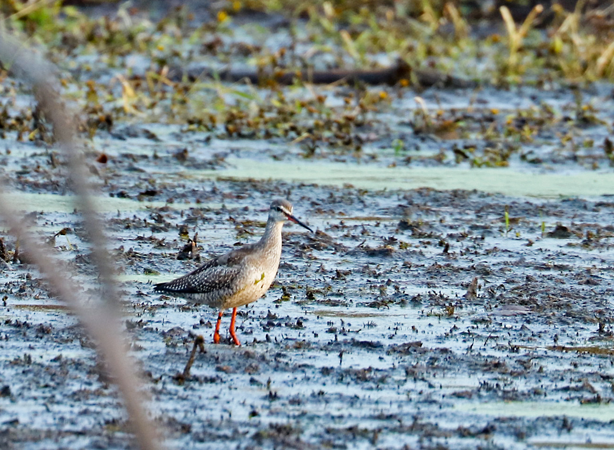 large shorebird with orange bill and reddish-orange legs wading through mudflat.