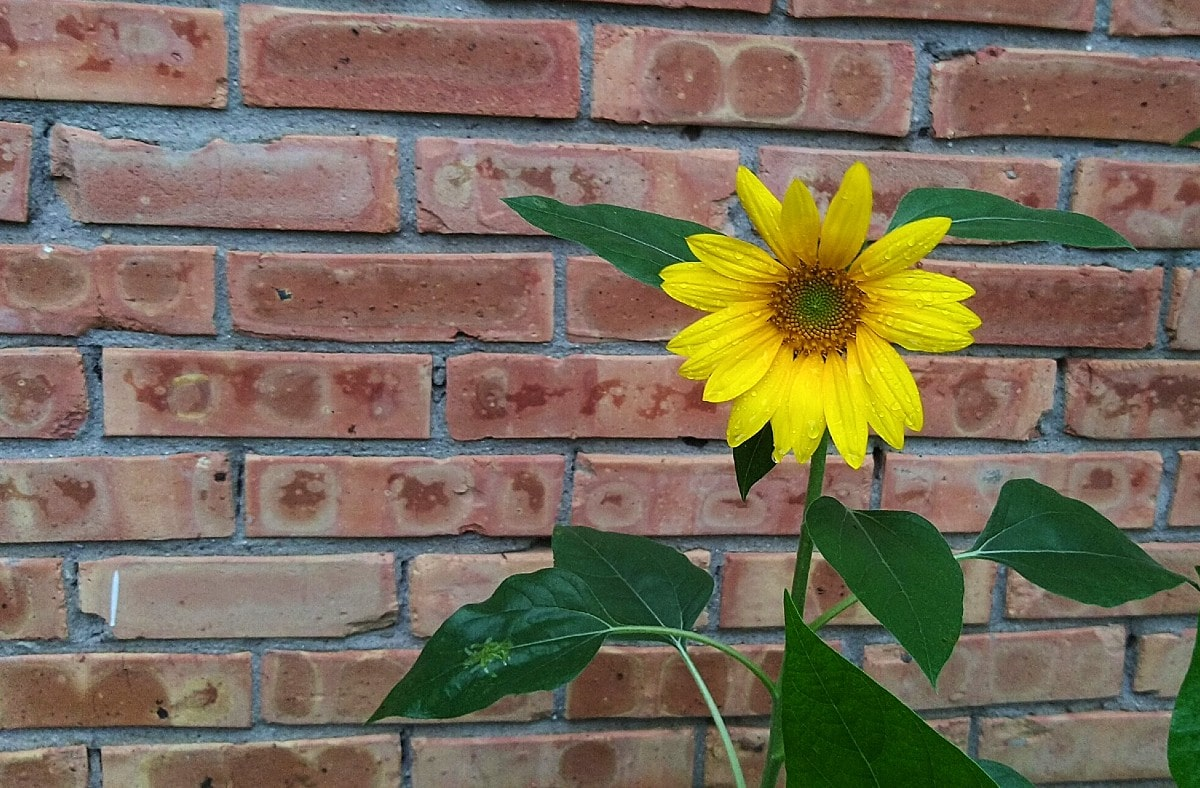 bright yellow sunflower in bloom, pink brick wall in the background.