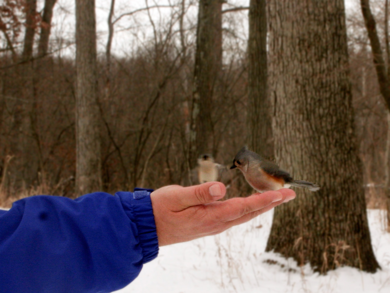 Tufted titmouse feeding from hand