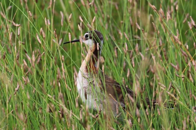 Brown and white shorebird with long black bill partially hidden in the tall, wet green grasses.