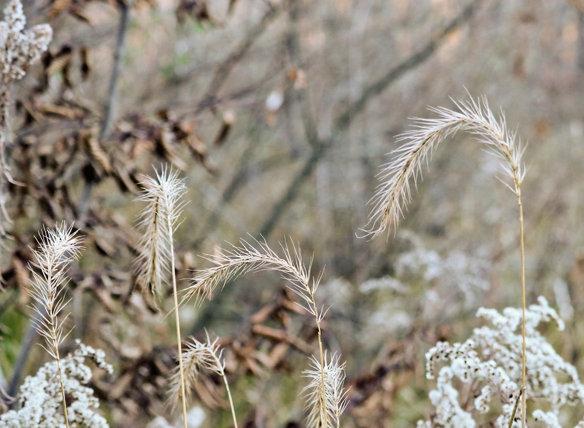 arching light-brown autumn grasses and weeds
