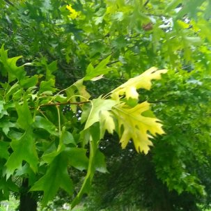 The leaves are changing and becoming more yellow orange will follow