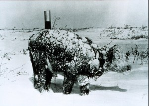 Photo of Young Steer After a March Blizzard, Rapid City, South Dakota