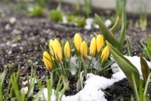 photo of crocus in the snow