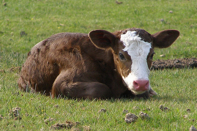 Calf, photo by Jim Champion (CC BY-SA 2.0)