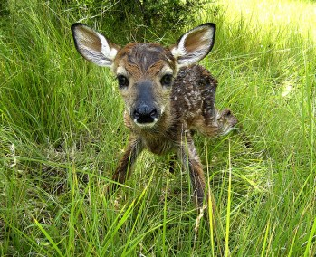 Newborn Fawn, Photo by Clay Junell