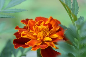 bobflower