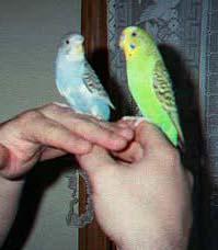 parakeet/budgie